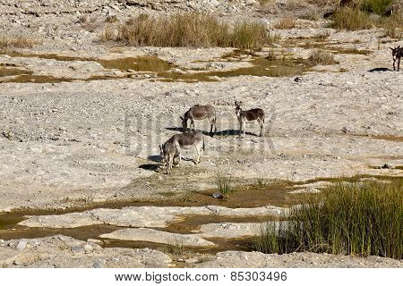 Wild ass in Wadi Al Mayh