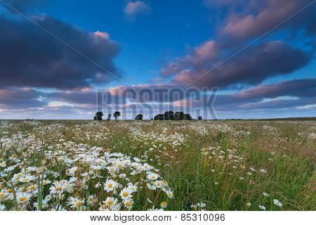 Chamomile Flower Field After Sunset
