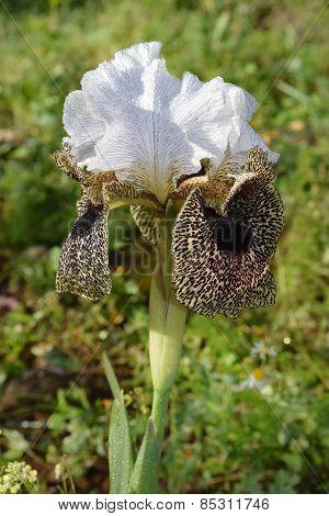 Nazareth Iris - Iris Flower Leopard Coloring