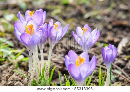 Vivid Spring Blooming Crocuses Or Saffron Sunlit Flowers