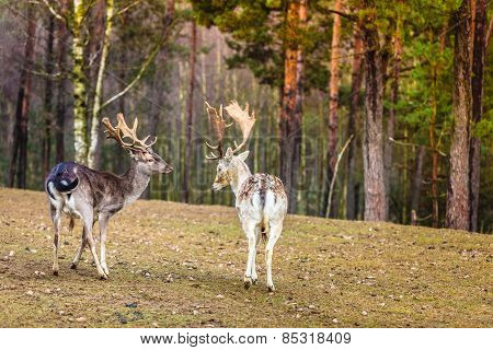 Two Male Deer In The Wild