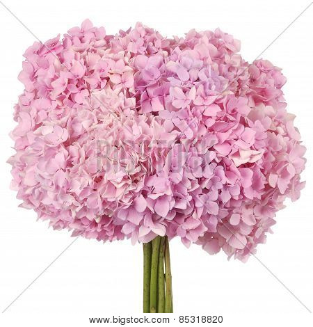 Pink Flower  Hydrangea (clipping Path)