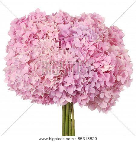 Pink Flower  Hydrangea (clipping Path)