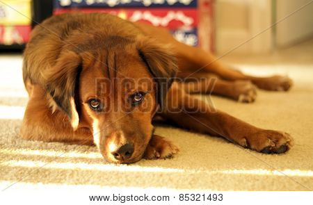 Lazy young dog takes nap in sunlight on carpet