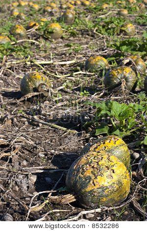 Pumpkins Damaged By Hail
