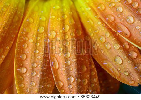 Wet Orange Daisy Petals