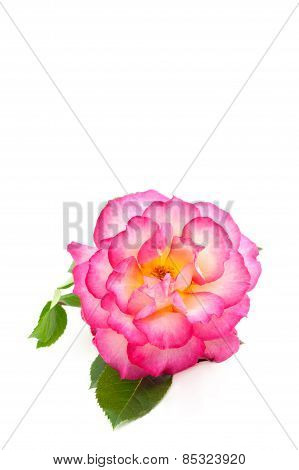 Pink Rose On White Vertical Background