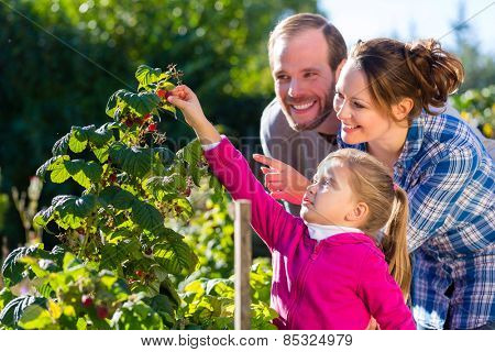 Family with mother, father and daughter picking berries from blackberry bush in the garden