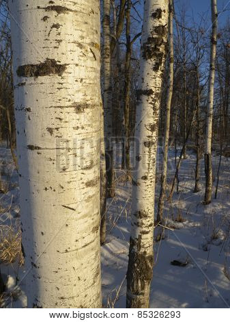 Quaking Aspen Trunks