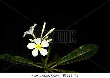 The Plumeria flower on black background