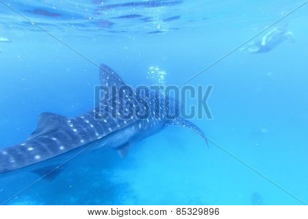 Oslob, Philippines - January 22,2015 : Man Snorkeling With A Whale Shark In Oslob, Philippines