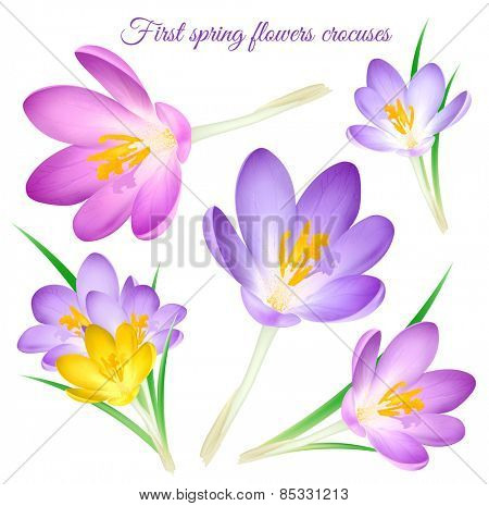 First spring flowers crocuses. Vector illustration.