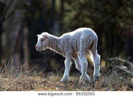 Cute Lamb Standing