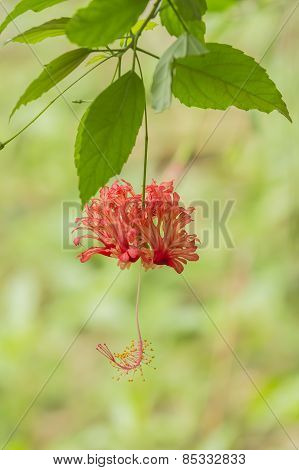 A Hibiscus Schizopetalus Flower Is Hanging