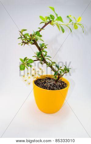 Bonsa Tree