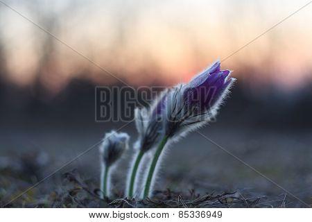 Spring flower Pasqueflower- Pulsatilla grandis-sunrise