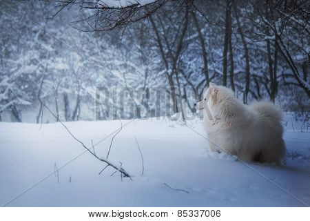 white Samoyed dog on the background of a winter forest snow