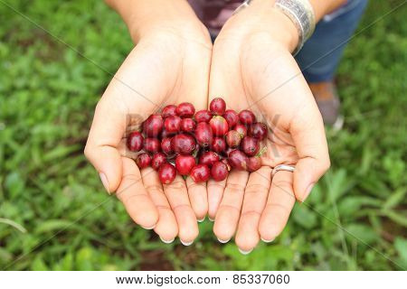 Arabica coffee berries with agriculturist hands