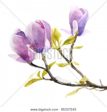 Watercolor magnolia flowers on white background