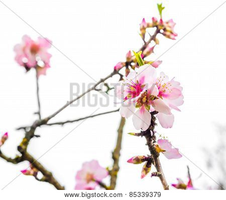 Spring Tree With Pink Flowers On Daily Light Sky