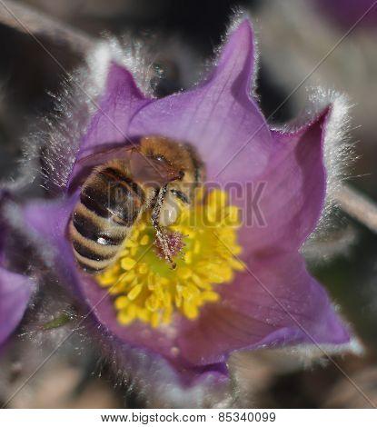 Honey Bee on spring flower Pasqueflower- Pulsatilla grandis