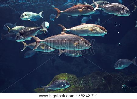 Amazing Underwater World, Shoal Of Tropical Shiny Silver Fishes
