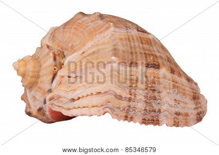 The Conch Shell On The White Background