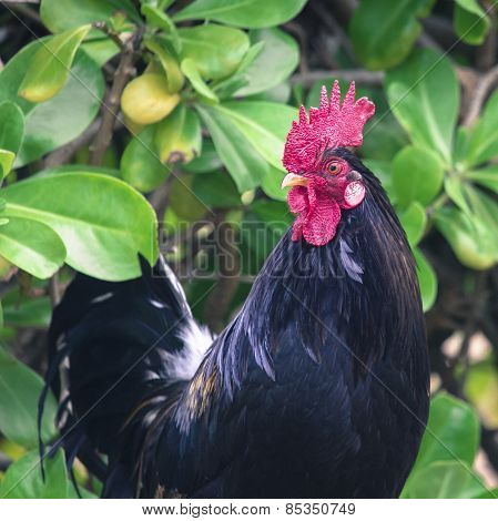 Ruster Chicken Portrait In Hawaii