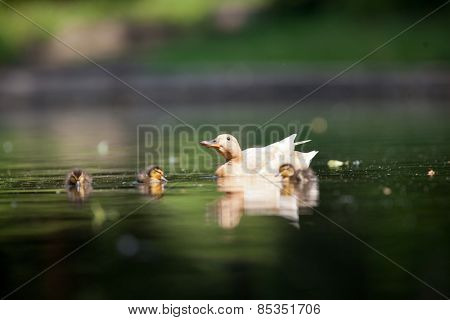 cute duck family on a pond