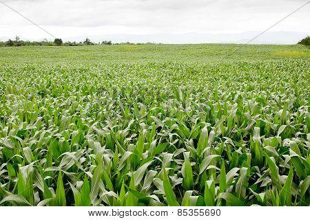 Green Corn Field,white Clouds In Thailand