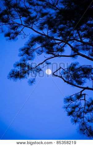 The Moon Behide Branches Of Pine Tree At Night Time