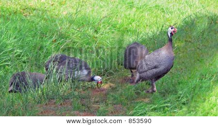 Gunieafowl group