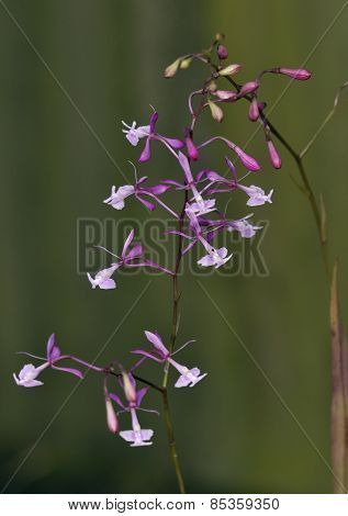 Nanegal Epidendrum Orchid
