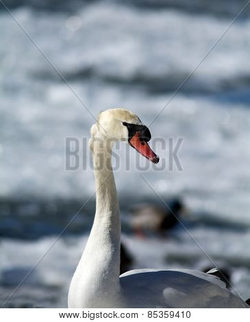 Portrait of Swan in the winter