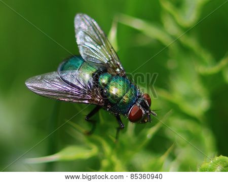 Green Fly In Macro