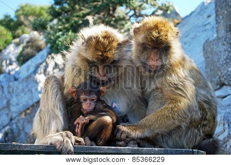 Family of Barbary Apes.