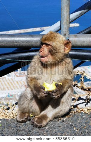 Young Barbary Ape.