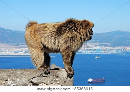 Barbary Ape standing on a wall.