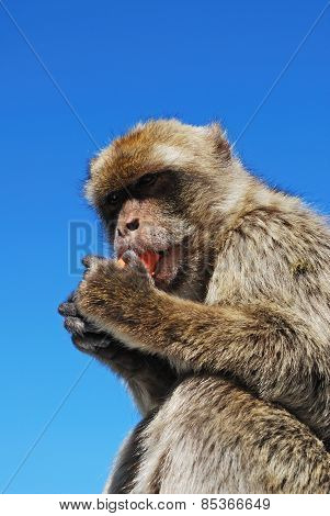 Barbary Ape eating a carrot.