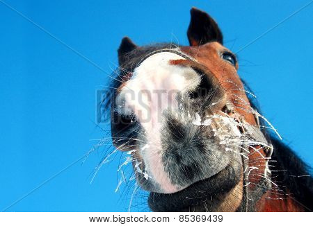 Funny Horse Closeup On Blue Background
