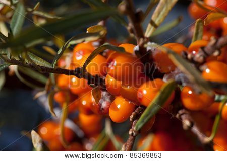 Harvest  Buckthorn