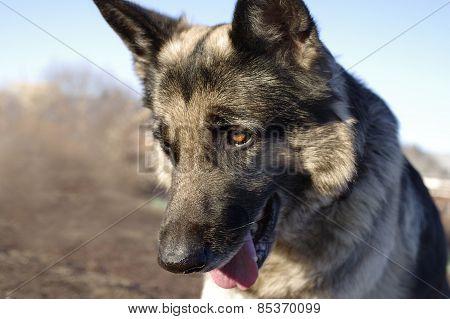 Playful Shepherd Dog