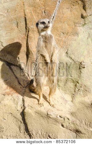 Profile Portrait On A Single Short-tailed Meerkat Standing To Attention On Sentry Duty