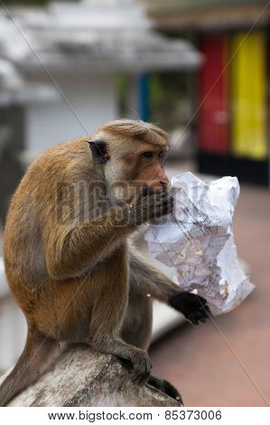 Monkey is eating food out of paper that left by tourist in Dambulla, Sri Lanka