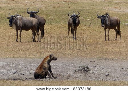 hyena and wildebeests