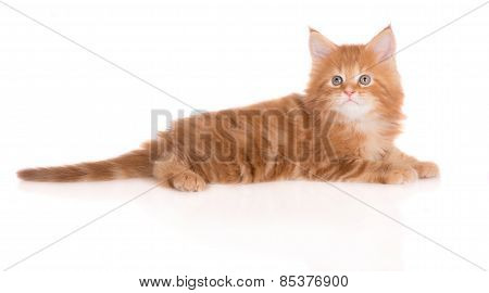 adorable red maine coon kitten