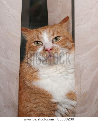 Thick Red Cat Hiding Behind Curtains
