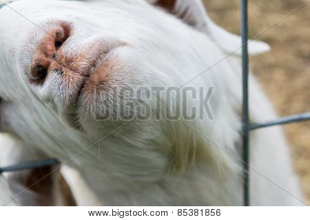 Give Us A Kiss!:  Closeup Of Goat's Lips
