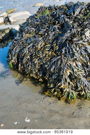 Boulder Covered With Bladderwrack