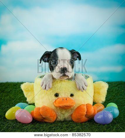 Easter Boston Terrier Puppy